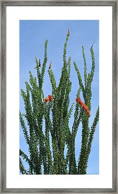 Ocotillo Plant  Framed Print by Aimee L Maher Photography and Art Visit ALMGallerydotcom
