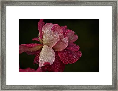 October Rose In The Rain Framed Print