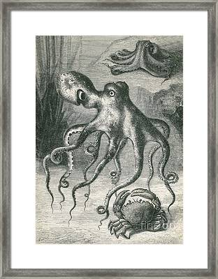 Octopi And Crab, 1833 Framed Print by Science Source
