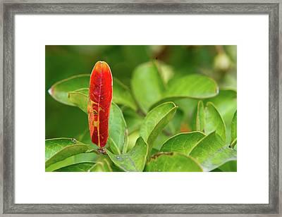 Odd Red Leaf Framed Print by Douglas Barnett