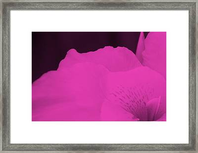 Oh Canna You See In Pink Framed Print by Diane Fiore