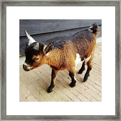 Oh My Goodness How Cute Are Baby Goats? Framed Print by Dante Harker