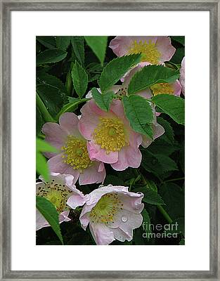 Oh The Wild Rose Bush Framed Print by Deborah Johnson