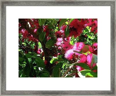 'ohi'a 'ai Blossoms Framed Print by James Temple