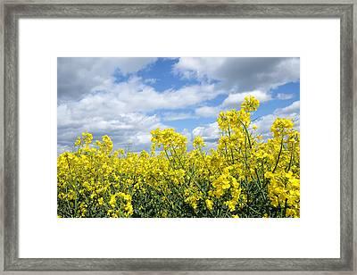 Oilseed Rape Framed Print