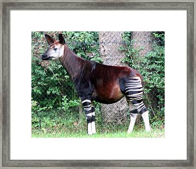 Okapi Framed Print by Laurel Talabere
