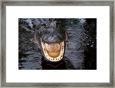 Okefenokee Alligator 1 Framed Print by Bruce W Krucke