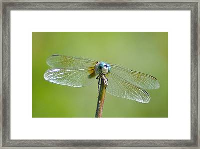 Old Blue Eyes - Blue Dragonfly Framed Print by Bill Cannon