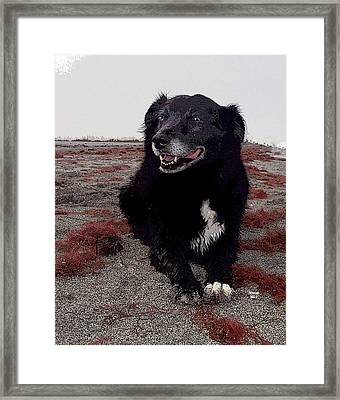 Old Border Collie Framed Print by Charles Shoup