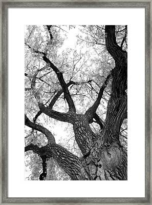 Old Cottonwood Tree Framed Print by James BO  Insogna