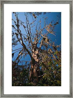 Old Cypress Framed Print by Christopher Holmes