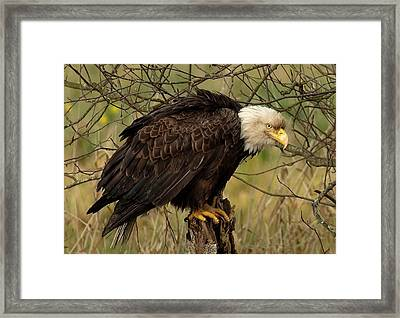 Old Eagle Framed Print by Sheldon Bilsker