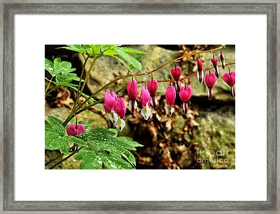 Old-fashioned Bleeding Heart Framed Print