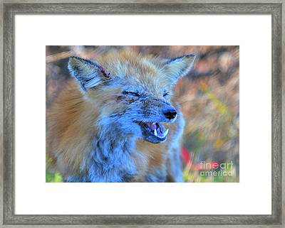 Framed Print featuring the photograph Old Fox by Debbie Stahre