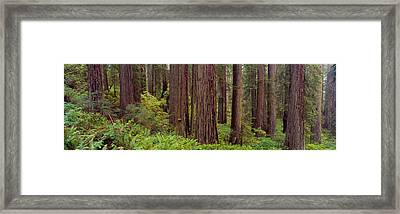 Old-growth Redwoods At Jedediah Smith Framed Print by Panoramic Images