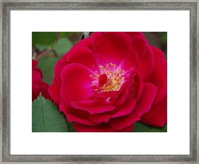 Old Homestead Rose Framed Print