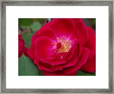 Old Homestead Rose Framed Print