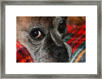 Framed Print featuring the photograph Old Man Boxer by Debbie Stahre