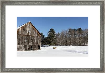 Old New England Barn And Cow In Winter Framed Print by Edward Fielding