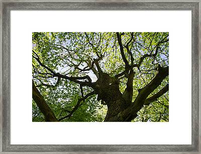 Old Oak Tree Framed Print by Kennerth and Birgitta Kullman