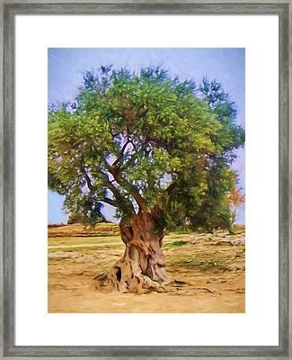 Old Olive Tree Framed Print