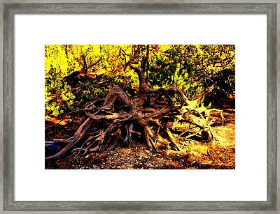 Old Roots Framed Print by Aron Chervin