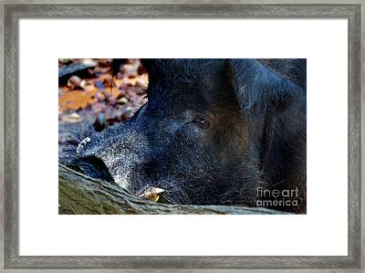 Old Tusker Framed Print