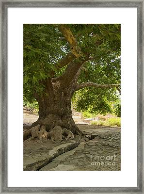 Old Village Tree Framed Print