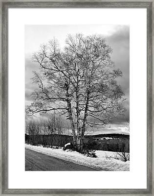 Old White Birch Framed Print