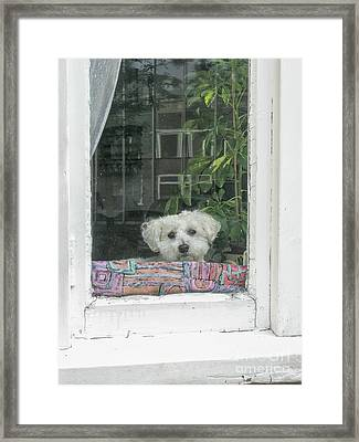 Old White Poodle Alone At Home Framed Print by Patricia Hofmeester