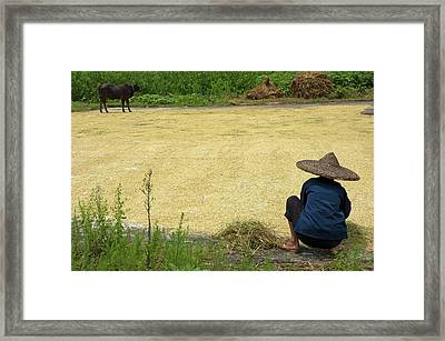 Old Woman Checking Harvested Rice Drying Framed Print by Sami Sarkis