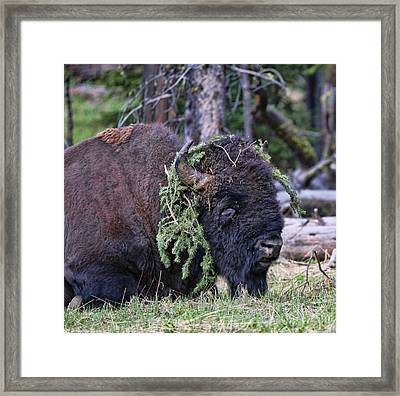 Old Yellowstone Bison Covered In Pine Framed Print