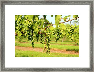 Old York Winery Grapes Framed Print by Brian Manfra