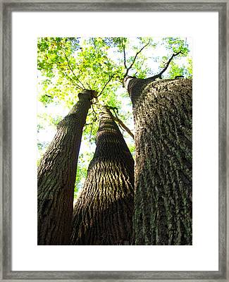 Oldgrowth Tulip Tree Framed Print