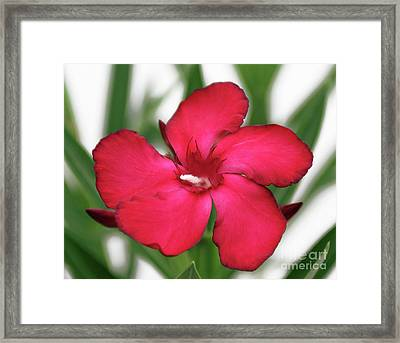 Oleander Blood-red Velvet 1 Framed Print