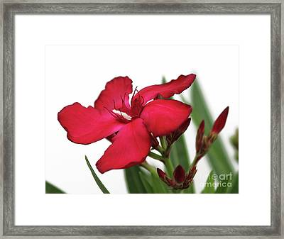 Framed Print featuring the photograph Oleander Blood-red Velvet 2 by Wilhelm Hufnagl