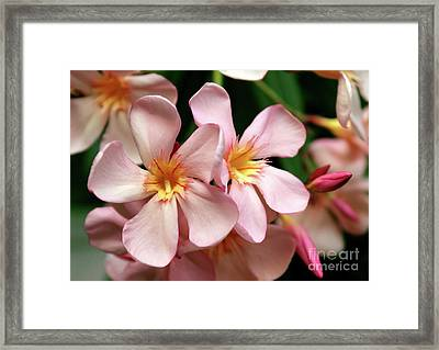 Framed Print featuring the photograph Oleander Dr. Ragioneri 2 by Wilhelm Hufnagl