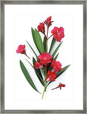 Framed Print featuring the photograph Oleander Geant Des Batailles 2 by Wilhelm Hufnagl