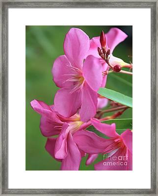 Oleander Maresciallo Graziani 2 Framed Print