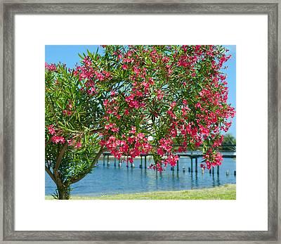 Oleander On Melbourne Harbor In Florida Framed Print by Allan  Hughes