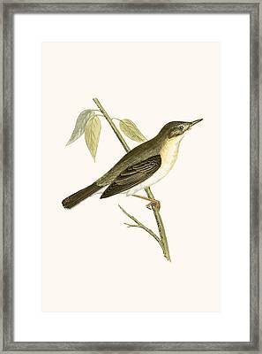 Olivaceous Warbler Framed Print by English School