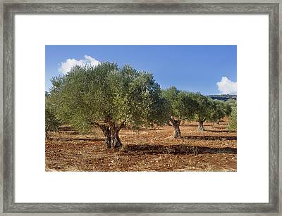 Olive Grove In Galille Framed Print by Noam Armonn