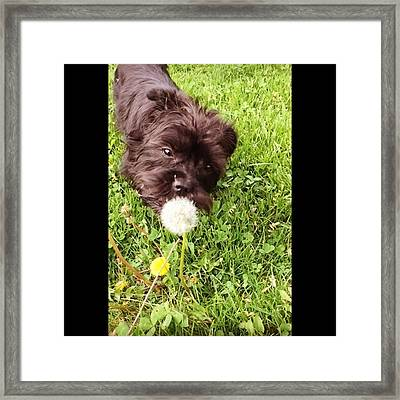 Olive My 5th Puppy. She Is A Framed Print