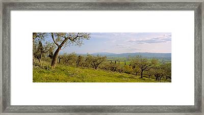 Olive Orchard On A Landscape, Assisi Framed Print by Panoramic Images
