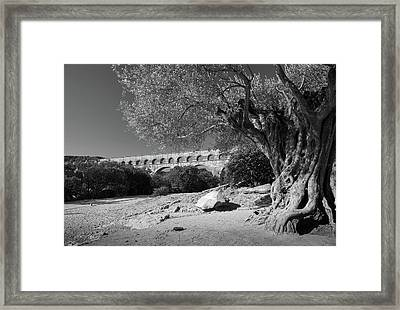 Olive Tree And Pont Du Gard, France Framed Print by Richard Goodrich