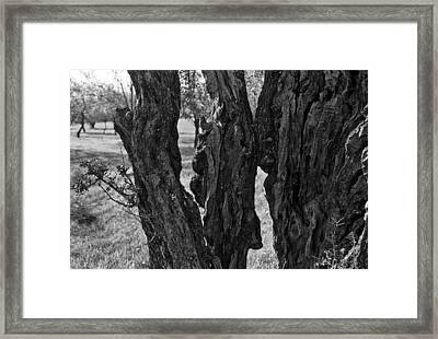 Olive Tree Framed Print by Dan Andersson