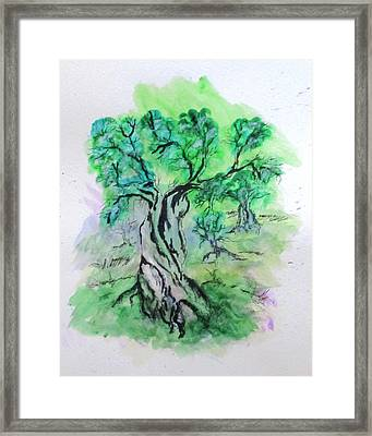 Olive Tree Grove Framed Print by Clyde J Kell