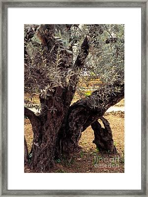 Olive Tree In The Garden Of Gethsemane Framed Print by Thomas R Fletcher
