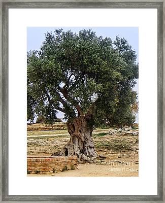 Olive Tree Sicily Framed Print by Lutz Baar
