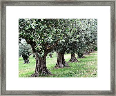 Olive Trees In Umbria Framed Print by Marion McCristall